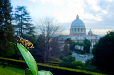 Yellow-legged moustached icon hoverfly (Syrphus ribesii) resting on plant in the Vatican garden with St Peter's in the background, Rome, Italy, March 2010  -  WWE/ Geslin/ npl