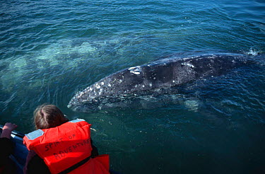 Tourists in close contact with friendly Grey whales, Baja California, Mexico (Eschrichtus robustus)  -  Mark Carwardine/ npl