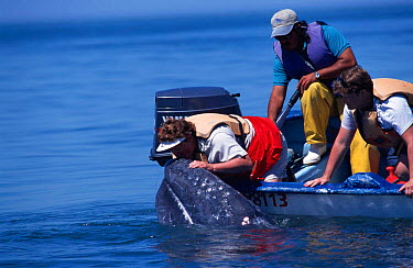 Tourists in close contact with friendly Grey whale, Baja California, Mexico (Eschrichtus robustus)  -  Mark Carwardine/ npl