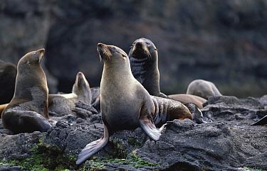 Juan Fernandez fur seals (Arctocephalus philippii) Juan Fernandez Is, Chile, threatened  -  Mark Carwardine/ npl