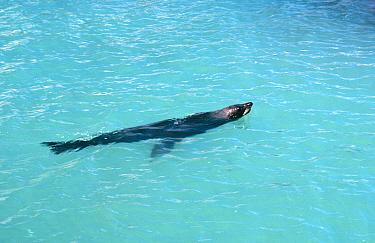 Juan Fernandez fur seal swimming (Arctocephalus philippii) Juan Fernandez Is, Chile, threatened  -  Mark Carwardine/ npl
