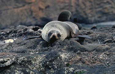 Juan Fernandez fur seal (Arctocephalus philippii) Juan Fernandez Is, Chile, threatened  -  Mark Carwardine/ npl