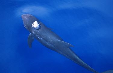 Risso's dolphin surfacing to breathe (Grampus griseus) The Maldives  -  Mark Carwardine/ npl