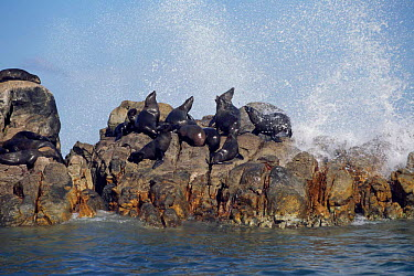 South african, Cape fur seals on rocks (Arctocephalus p pusillus) W Cape, South Africa  -  Mark Carwardine/ npl