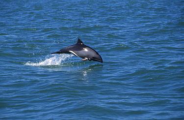Heaviside's dolphin jumping (Cephalorhynchus heavisidii) South Africa, Lamberts Bay  -  Mark Carwardine/ npl