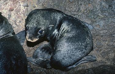 Juan Fernandez fur seal pup in breeding cave, Juan Fernandez Is, Chile, threatened  -  Mark Carwardine/ npl