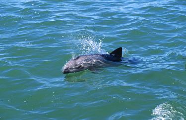 Heaviside's dolphin (Cephalorhynchus heavisidii) Lamberts Bay, South Africa  -  Mark Carwardine/ npl