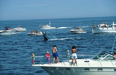 Whale watching tourist boats overcrowd diving Humpback whale, New England, USA  -  Mark Carwardine/ npl