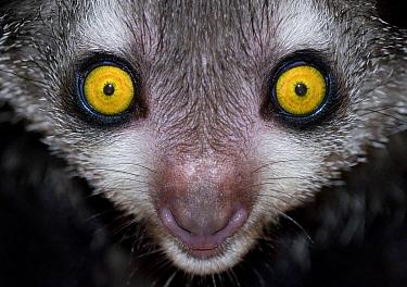 Aye-aye (Daubentonia madagascariensis) captive, from Madagascar, Endangerd species, Bristol Zoo  -  Mark Carwardine/ npl