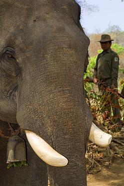 Indian elephant (Elephas maximus) captive used by anti-poaching patrol wih ranger, Alaungdaw Kathapa National Park, Burma (Myanmar)  -  Mark Carwardine/ npl