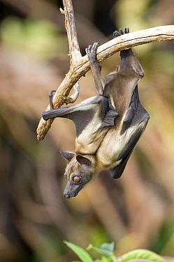Straw-coloured fruit bat (Eidolon helvum) moving along branch in daytime roost, Kasanka National Park, Zambia, Africa  -  Mark Carwardine/ npl