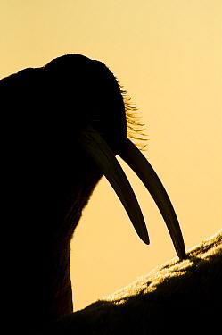 Walrus (Odobenus rosmarus) silhouetted against setting sun, Igloolik, Foxe Basin, Nunavut, Arctic Canada  -  Mark Carwardine/ npl
