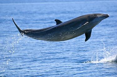 Common bottlenose dolphin (Tursiops truncatus) breaching, Baja California, Sea of Cortez (Gulf of California), Mexico  -  Mark Carwardine/ npl