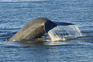 Blue whale (Balaenoptera musculus) fluking (diving), Sea of Cortez (Gulf of California), Baja, California, Mexico, Endangered species  -  Mark Carwardine/ npl