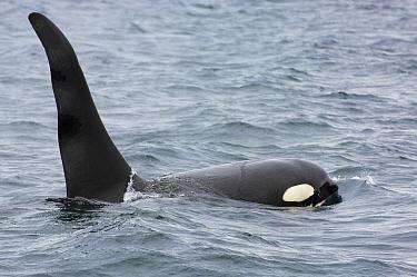 Killer whale, Orca (Orcinus orca) bull, Johnstone Strait, Northern Vancouver Island, British Columbia, Canada  -  Mark Carwardine/ npl