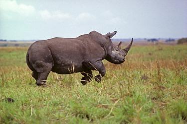 Northern white rhinoceros (Ceratotherium simum cottoni) running, charging, Garamba NP, Dem Rep Congo 1989  -  Mark Carwardine/ npl