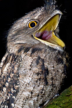 Tawny frogmouth (Podargus strigoides) mouth open, captive, Rainforest Habitat Wildlife Sanctuary, Port Douglas, Queensland, Australia  -  Mark Carwardine/ npl