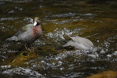 Blue Duck (Hymenolaimus melacorhynchos), adult pair, Kaiwhakauka River, North Island, New Zealand Endangered species  -  Mike Potts/ npl
