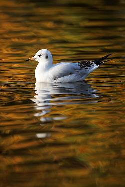 Black-headed gull (Larus ridibundus) in winter plumage, on water, England, UK February  -  Paul Hobson/ npl