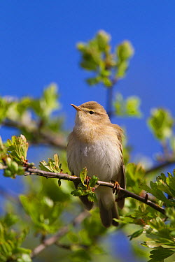 Willow warbler (Phyloscopus trochilus) perched on branch, Peak District, England, UK May  -  Paul Hobson/ npl