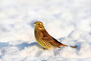 Yellowhammer (Emberiza citrinella) female on snow covered ground in winter, Peak District, England, UK  -  Paul Hobson/ npl