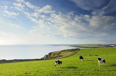 View of cows grazing coastal fields from Hope Cove towards Thurlestone, Bigbury Bay and Burgh Island Evening light Near Salcombe, South Devon, UK September 2009  -  Ross Hoddinott/ npl