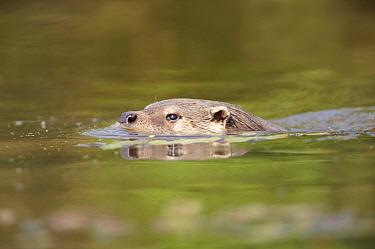 European river otter (Lutra lutra) swimming, Kent, UK, June, captive  -  Chris O'Reilly/ npl