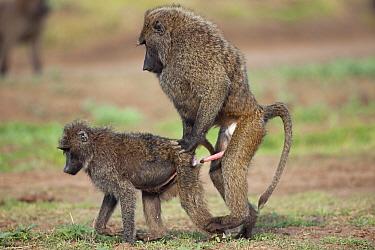 Olive baboons (Papio cynocephalus anubis) mating, Masai Mara National Reserve, Kenya February  -  Anup Shah/ npl