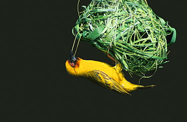 Ruppell's weaver (Ploceus galbula) male building nest, Oman, May, digitally enhanced  -  Hanne & Jens Eriksen/ npl