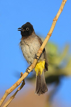 Yellow vented bulbul (Pycnonotus xanthopygos) perched, calling, Oman, March  -  Hanne & Jens Eriksen/ npl