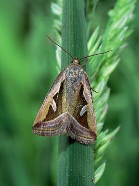 Silver hook moth (Deltote uncula) Lackan Bog, County Down, Northern Ireland, UK, June  -  Robert Thompson/ npl