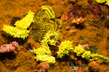 Yellow sea cucumbers (Colochirus robustus) on sponge, feed by catching substances in the water with its finely branched tentacles Komdo National Park, Indonesia  -  Georgette Douwma/ npl