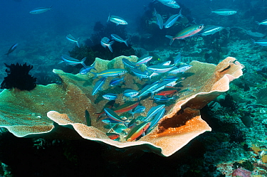 Bluestreak, Dark banded fusiliers (Pterocaesio tile) gathering at a cleaning station over coral Indonesia  -  Georgette Douwma/ npl