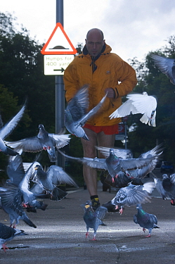 Flock of Feral pigeons (Columba livia) taking off as jogger approaches, urban street, London, England, UK, October 2008  -  Laurent Geslin/ npl