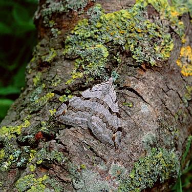 Treble bar moth (Aplocera plagiata) Murlough NNR, County Down, NOrthern Ireland, UK, July  -  Robert Thompson/ npl