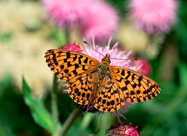 Violet, Weaver's fritillary butterfly (Clossiana dia) on flower, Jura, France, June  -  Robert Thompson/ npl