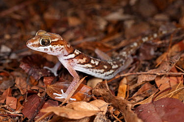 Big-headed Gecko (Paroedura picta) in leaf litter on forest floor Kirindy, western Madagascar  -  Nick Garbutt/ npl