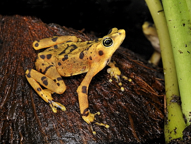 Panamanian golden frog (Atelopus zeteki) captive, extinct in the wild  -  Michael D. Kern/ npl