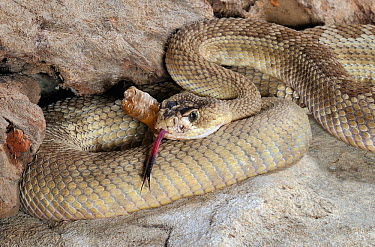 Mohave rattlesnake (Crotalus scutulatus) with tongue exposed, captive, from USA and Mexico  -  Michael D. Kern/ npl