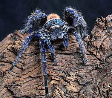 Greenbottle blue tarantula (Chromatopelma cyaneopubescens) female, captive, from Venezuela  -  Michael D. Kern/ npl