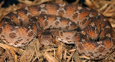 Egyptian saw scaled viper (Echis pyramidum) captive, from N Africa  -  Michael D. Kern/ npl