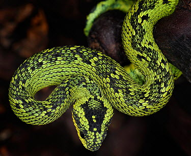 Guatemalan palm viper (Bothriechis aurifer) captive, from South America  -  Michael D. Kern/ npl