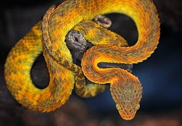 African bush viper (Atheris squamigera)  -  Michael D. Kern/ npl