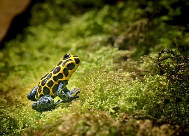 Poison dart frog (Dendrobates imitator) captive, from Central America  -  Michael D. Kern/ npl