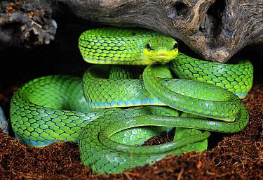Rein, Green trinket snake (Elaphe frenata) captive, from India and Asia  -  Michael D. Kern/ npl