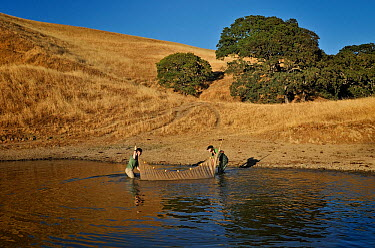 Research worker erect net in pool for sampling salamanders, California Tiger Salamander Monitoring and Conservation (Ambystoma californiense), California, USA, June 2008  -  Michael D. Kern/ npl
