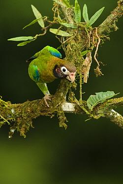Brown-hooded Parrot (Pionopsitta haematotis) perched on moss covered branch, Laguna del Lagarto, Costa Rica, Central America  -  Mary Mcdonald/ npl