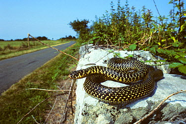 Western whipsnake (Hierophis, Coluber viridiflavus) on wall by the side of a road France, Europe Controlled conditions  -  Daniel Heuclin/ npl