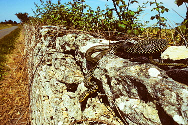 Western whipsnake (Hierophis, Coluber viridiflavus) travelling down a wall by the side of a road France, Europe Controlled conditions  -  Daniel Heuclin/ npl