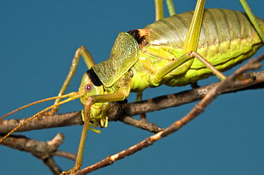 Grasshopper (Ephippiger ephippiger) close-up of head and body, climbing along twigs Italy, Europe  -  Paul Harcourt Davies/ npl